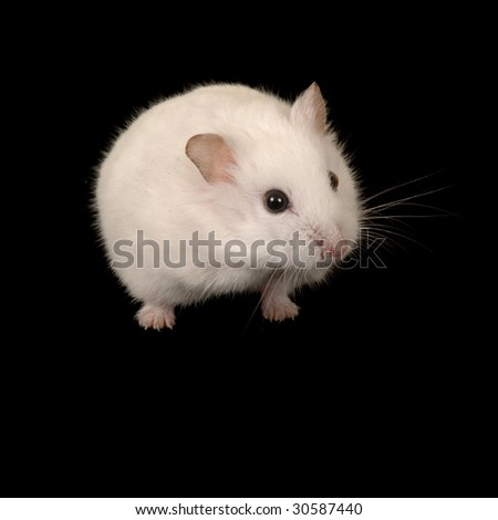 A white Campbell's Dwarf Hamster on a black background. - stock photo
