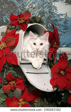 A white cat lays in an open mailbox decorated with red Christmas poinsettias and holly - stock photo