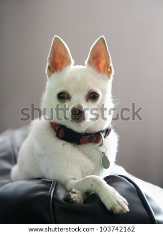 a white chihuahua - stock photo