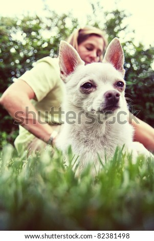 a white chihuahua being petted - stock photo
