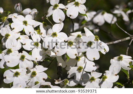 A white dogwood tree in bloom. - stock photo