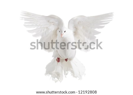 A white dove flying, isolated on white - stock photo
