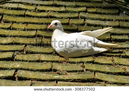 A white dove in England in the summertime - stock photo