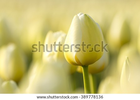 A white dutch tulip in a flowerbed during Spring season in the Netherlands - stock photo