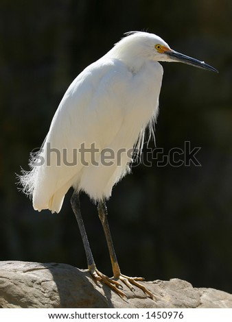 A white egret in the sunlight - stock photo