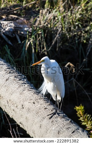 A white egret perched on a log over a wetland marsh - stock photo