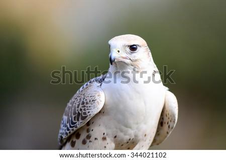 A white falcon staring his prey - stock photo