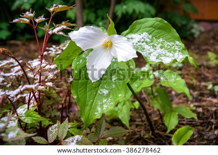 A white flower (Trillium sp.) catches some late-spring snow. - stock photo