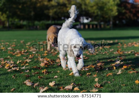 A white golden doodle dog walks towards the camera. The dog looks like a standard poodle. It is autumn in a park. Maple leaves have fallen on the green grass.