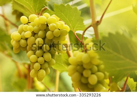 a White grapes on the vine branches - stock photo