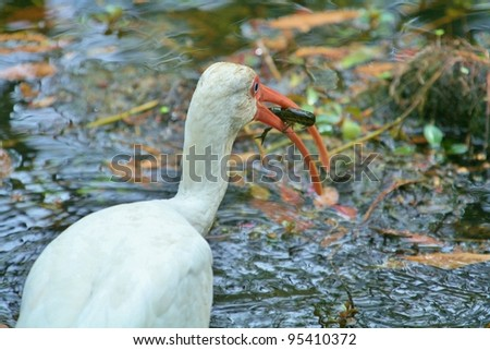 A White Ibis eating a Crayfish. - stock photo