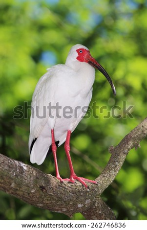 A White Ibis (Eudocimus Albus) Standing on a Tree Branch