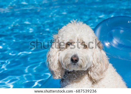 A white labradoodle dog relaxes and floats on a pool float in the family swimming pool