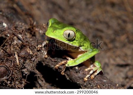 A White-Lined Leaf Frog (Phyllomedusa vaillantii) resting on the bank of a water pool in the Amazon rain-forest - stock photo