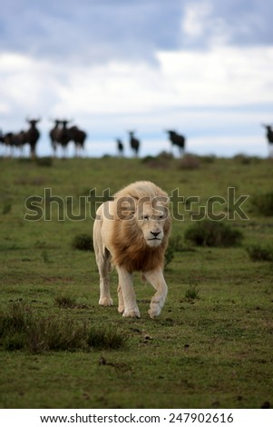 A white lion walking with a herd of wildebeest watching from the background - stock photo