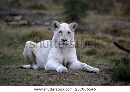 A white liones lying on a grass bank stares at the camera with her intense blue eyes. - stock photo