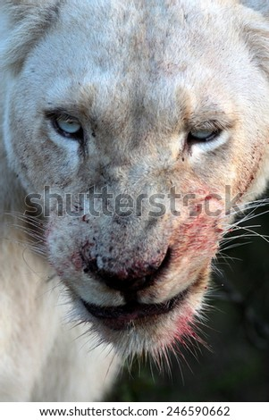 A white lioness full of blood after a kill.