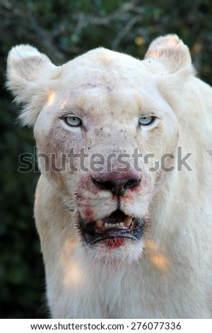 A white lioness full of blood after a kill. focus on nose - stock photo