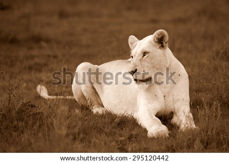 A white lioness lying on a grass bank stares at the camera with her intense eyes. - stock photo