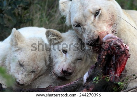 A white lioness shares a kill with one of her cubs. - stock photo