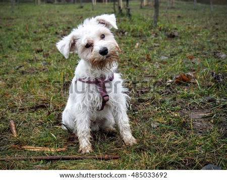 A white mini schnauzer wants to play with you