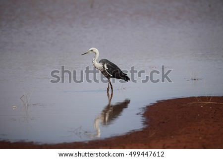 A White-necked Heron reflected fishing while standing in a calm pool of water in Australia's outback.