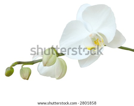 a white orchid against white background