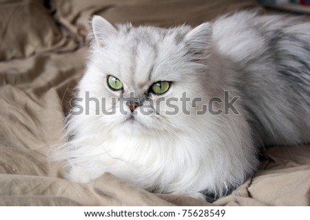 A white persian cat close-up - stock photo