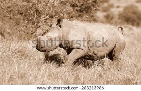 A white rhino calf portrait in sepia tone - stock photo