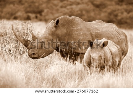 A white rhino / rhinoceros and her baby calf in this sepia tone image. South Africa - stock photo