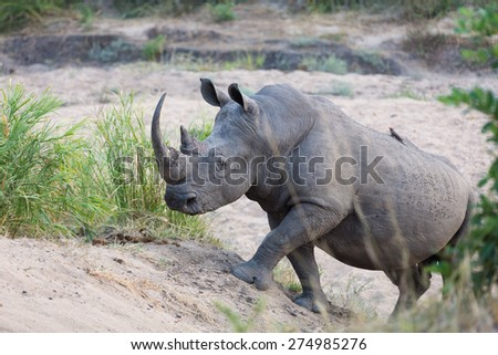 A white rhino walking in the sand of a dry riverbed - stock photo