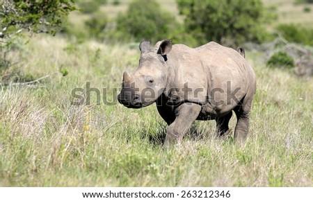 A white rhinoceros calf walking through a grass field. - stock photo