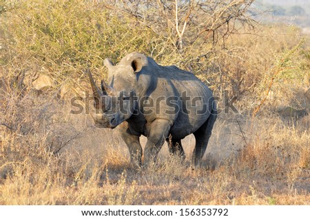 A White Rhinoceros (Ceratotherium simum) in the Kruger Park, South Africa - stock photo