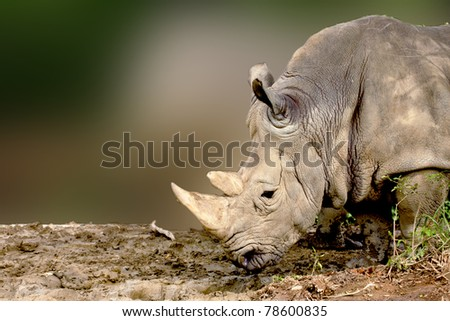 a White Rhinoceros eatting food - stock photo