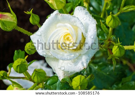 a white rose blooming on a large shrub in a garden - stock photo