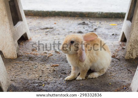 A white-soft orange rabbit ,  left ear vertical and right ear down , motion blur effect , cement chair around of it