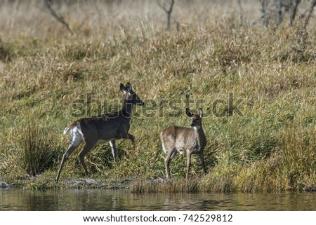 A white tail deer mother with its  young one by the shore of a small pond near Hauser, Idaho.