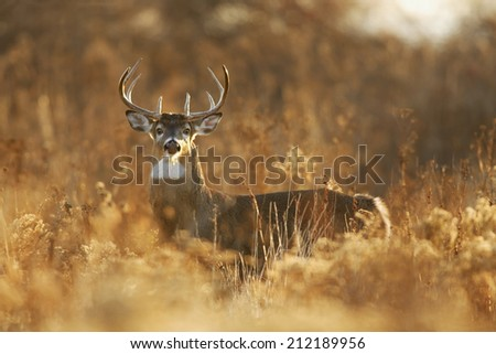 A white-tailed deer buck in golden light. - stock photo