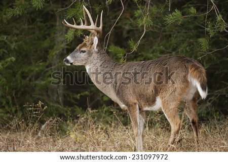 A white-tailed deer buck with large antlers - stock photo