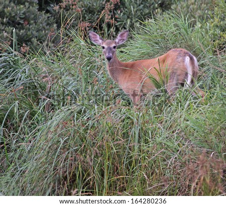 A White-tailed Deer (Odocoileus virginianus) sitting amongst some weeds.  Shot in Acadia National Park, Maine, USA.  - stock photo
