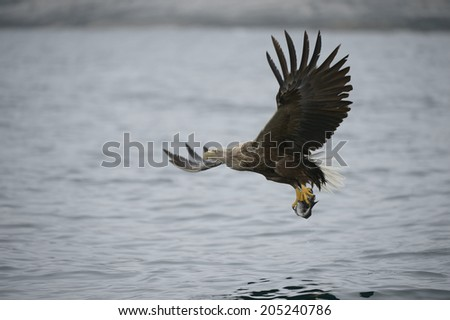 A White-tailed eagle carrying a fish which it has just caught in very overcast conditions and low light.