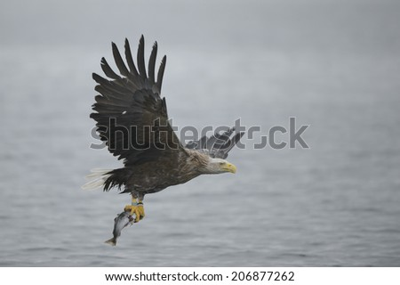 A White-tailed eagle carrying its prize, a fish which it has just caught in very overcast conditions and low light.