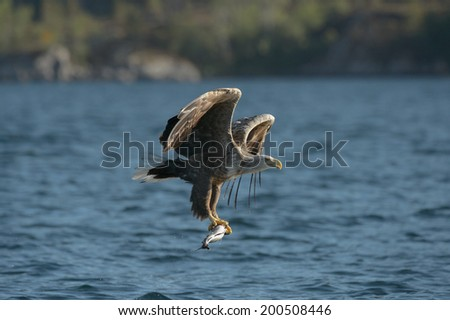 A White tailed Eagle hunting off the Norwegian coast carries a Coal fish back to the nest to feed her hungry chicks. - stock photo