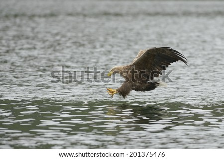 A White-tailed Eagle is about to snatch a meal from the cool waters of a Norwegian fjord; the meal is a small Coalfish that can be seen at the surface just ahead of the eagles talons. - stock photo