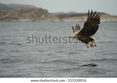 A White tailed Eagle lifts its catch from the Norwegian Sea.