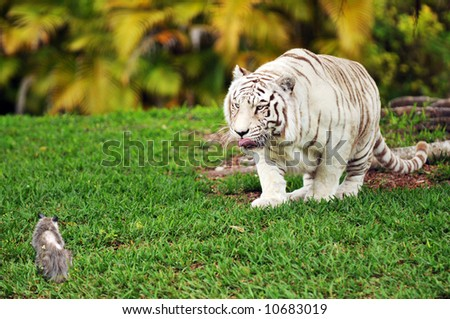 A white tiger licking his lips while stalking a small, gray possum.