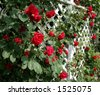 A white trellis supporting a red rose vine. - stock photo