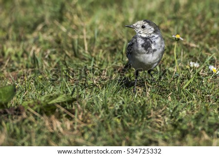 A white wagtail is searching for fodder