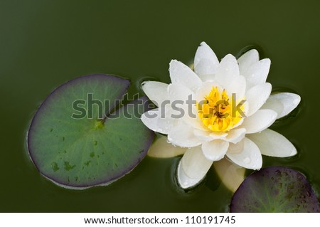 A white water lily in a pond.