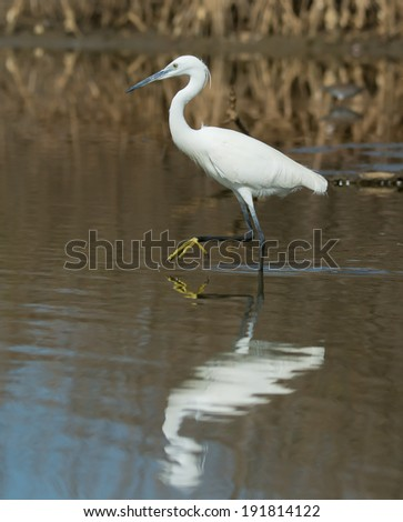 A white Western Reef Heron (Egretta gularis) with foot raised reflected in shallow water - stock photo